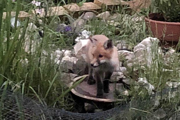 Fuchs Im Garten Wildschwein Im Feld Der Wildtierbeauftragte